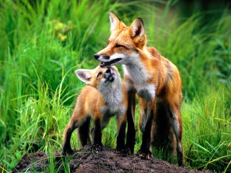 Red-Foxes